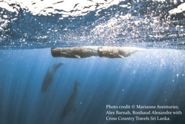 Snorkelling with whales