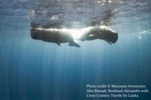 Diving with Whales - Sri Lanka