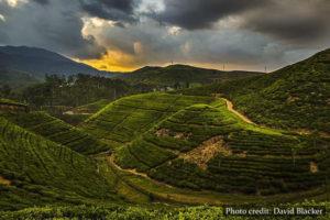 Tea - Sri Lanka