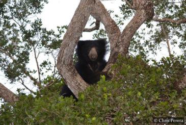 Sloth Bear Wilpattu National Park Sri Lanka
