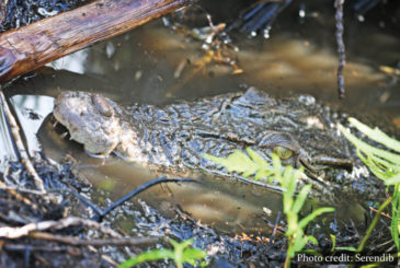 Crocodiles Muthurajawela Marsh Sri Lanka