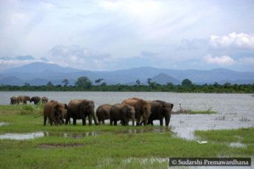 Elephants Udawalawe Wildlife National Park Sri Lanka