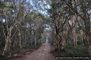 Tree canopy in Wilpattu National Park Sri Lanka