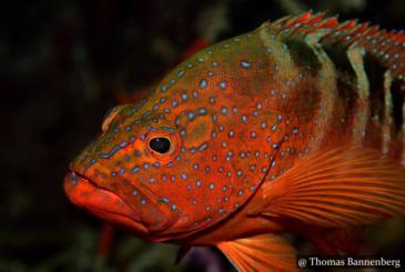 Red Groupers - Scuba Dive Site Sri Lanka