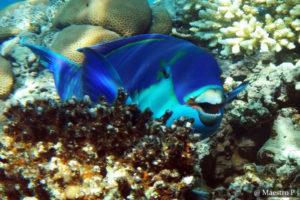 Parrotfish SCUBA Dive Sri Lanka