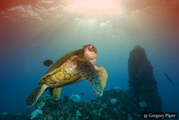 Turtles SCUBA Dive Sri Lanka