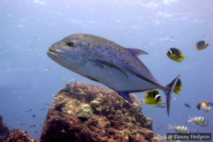 Bluefin Trevally Sri Lanka