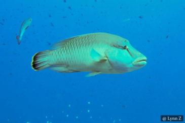 Napoleon Fish Sri Lanka