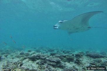Mantas - SCUBA Diving Sri Lanka