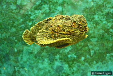 Stone Fish - SCUBA Diving Sri Lanka
