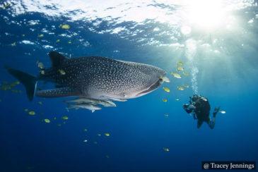 Whale Sharks - SCUBA Sri Lanka