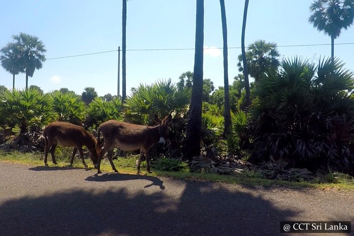 Donkeys in Mannar