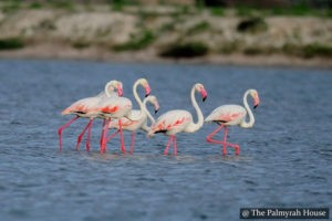 Flamingos Mannar