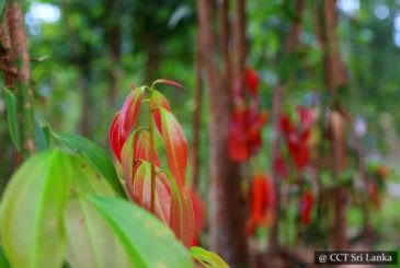 Visit a cinnamon plantation
