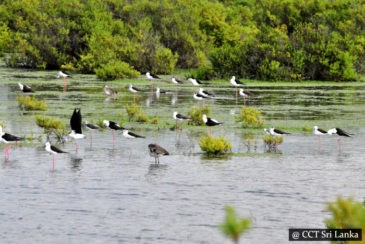 Bird watching in Mannar